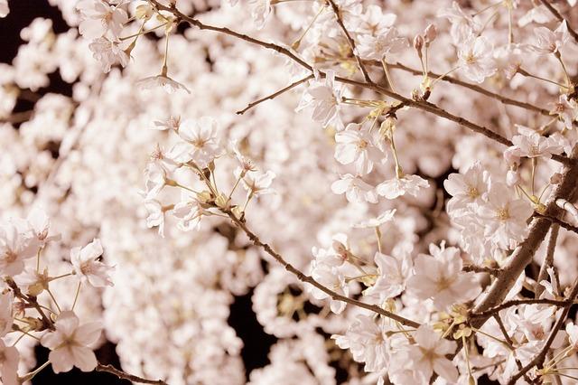 Růžový svátek Hanami