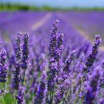 Kdy kvete levandule v Provence